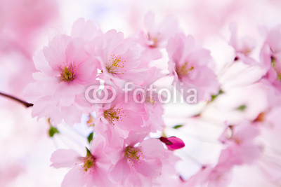 Japanese cherry tree in blossom